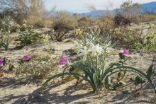 Desert Lily wildflower in the Anza Borrego desert