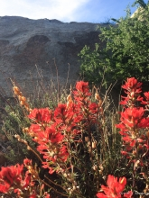 Desert Paintbrush wildflower in the Mojave