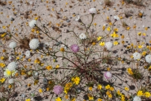 Desert Pincushion wildflower in the Mojave
