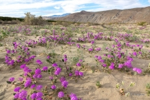 Desert Sand Verbena wildflower in the Anza Borrego desert