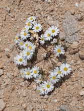 Desert Star wildflower in the Mojave