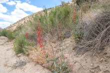 Eaton's Firecracker wildflower in the desert