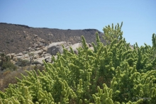 Fourwing Saltbush plant in the desert