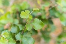 Fragrant Sumac shrub in the desert