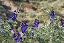 Fremont Indigo Bush in the desert
