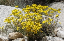 Golden Yarrow wildflower in the desert