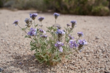 Goodding's Verbena wildflower in the desert