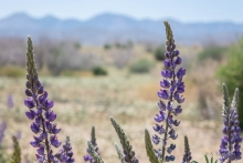 Grape Lupine wildflower in the desert