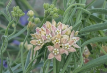 Hairy Milkweed in the desert
