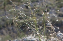 Indian Rice Grass in the desert