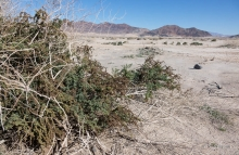 Iodine Bush plant in the desert