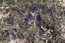 Johnson's Indigo Bush wildflower in the desert