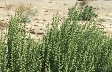 Leaved Cambess plant in the desert