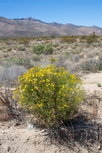 Linear Leaved Goldenbush in the desert