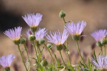 Mojave Aster wildflower in the desert
