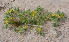 Mojave Cleomella wildflower in the desert