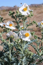 Mojave Prickly Poppy wildflower in the desert