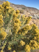Mojave Rabbitbrush plant in the desert