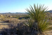 Mojave Yucca plant in the desert