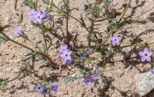 Nevada Gilia wildflower in the desert