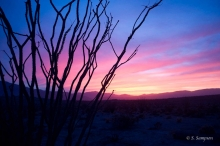 Ocotillo plant in the desert