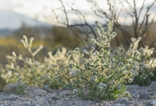 Palm Springs Cryptantha wildflower in the desert