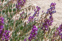 Palmer's Milkvetch wildflower in the desert