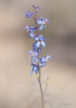 Parish's Larkspur wildflower in the desert