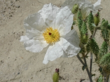 Prickly Poppy wildflower in the desert