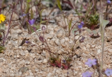 Puff Calyx Gilia wildflower in the desert