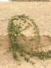 Puncture Vine plant in the desert