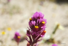 Purple Owl's Clover wildflower in the desert