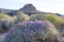 Purple Sage wildflower in the desert