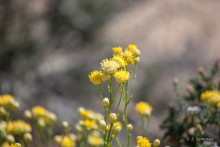 Rayless Goldenhead wildflower in the desert