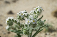 Ribbed Cryptantha wildflower in the desert