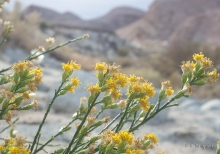 Scale Broom wildflower in the desert
