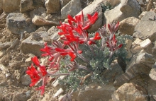 Scarlet Milkvetch wildflower in the desert