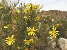 Shrubby Ragwort wildflower in the desert