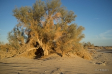 Smoke Tree tree in the desert