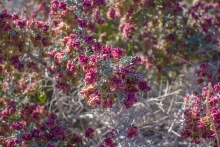 Spiny Hopsage shrub in the desert