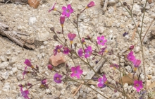Splendid Gilia in the desert