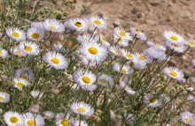 Spreading Fleabane wildflower in the desert