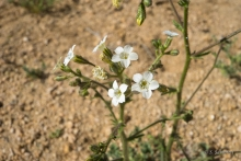 Star Gilia in the desert