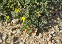 Strigose Lotus wildflower in the desert