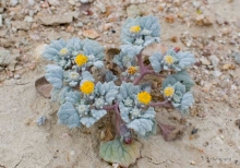 Velvet Rosette wildflower in the desert