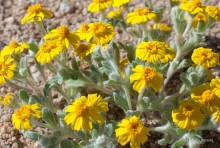 Wallace's Woolly Daisy wildflower in the desert