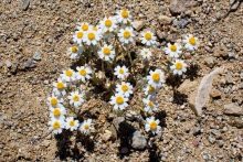 White Easter Bonnet wildflower in the desert