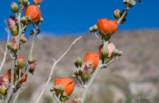 Apricot Mallow wildflower in the desert