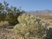 Desert Holly shrub in the Death Valley desert