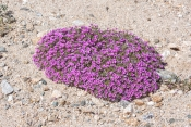 Purple Mat wildflower in the desert
